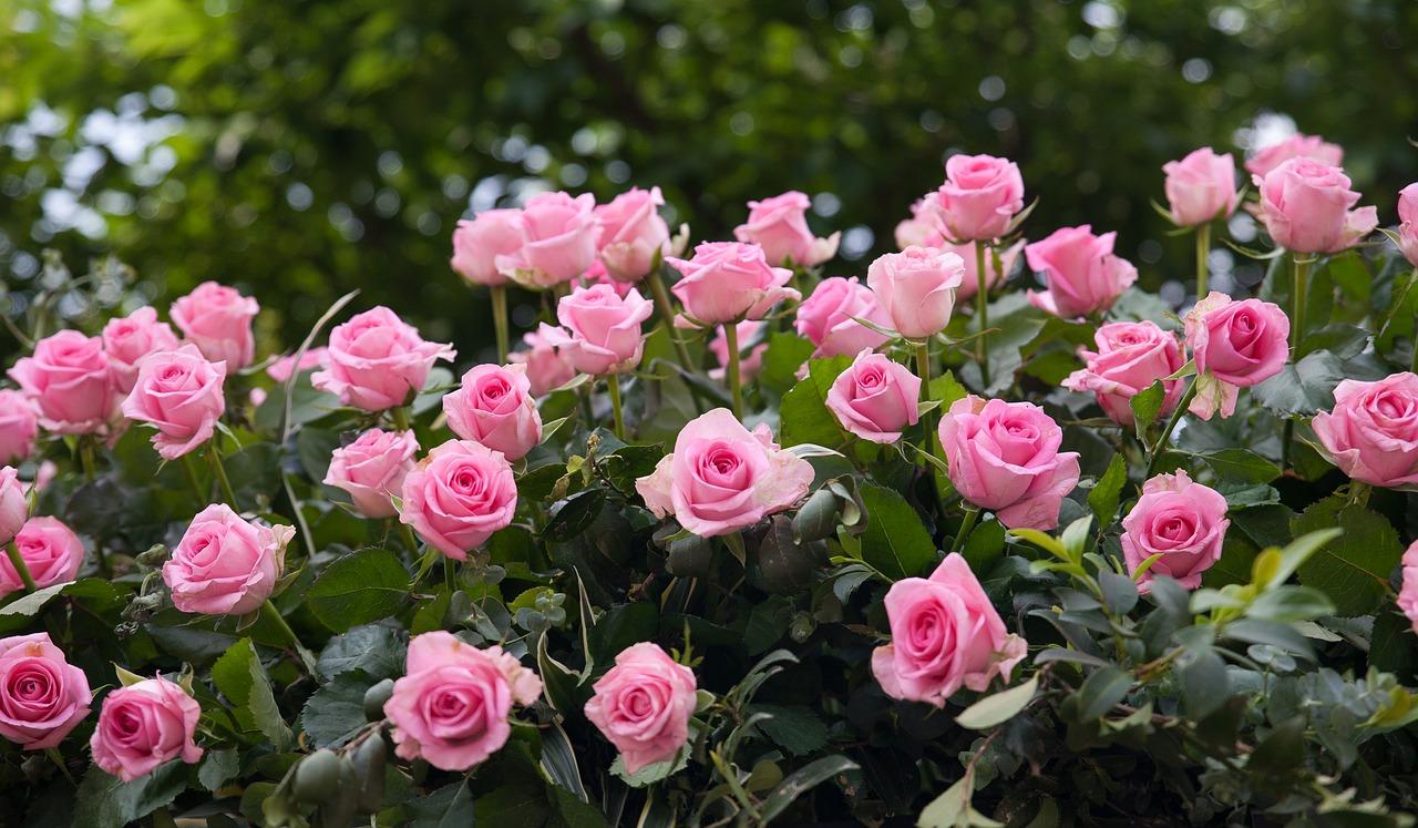 Картинки розы куст