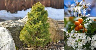 7 карликовых деревьев для небольших площадей! Лучшие решения для сада