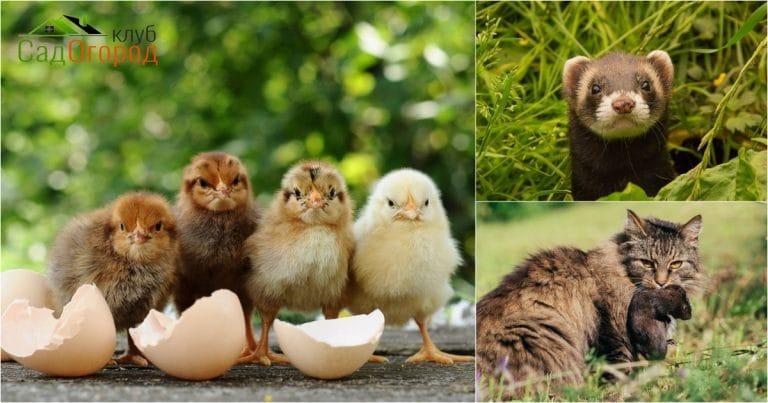 Курицы и хищники