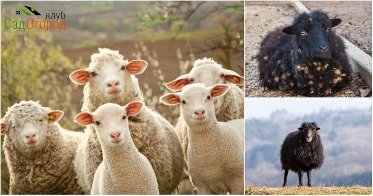 овцы Уэссан