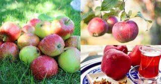 Яблоня: самое полное руководство садовода