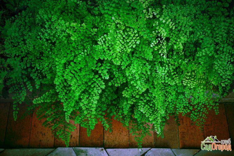 Close up green leaves of Black Maidenhair fern leaves  (Adiantum capillus-veneris) on natural stone floor
