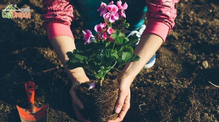 Gardening, planting geraniums. Retro colors