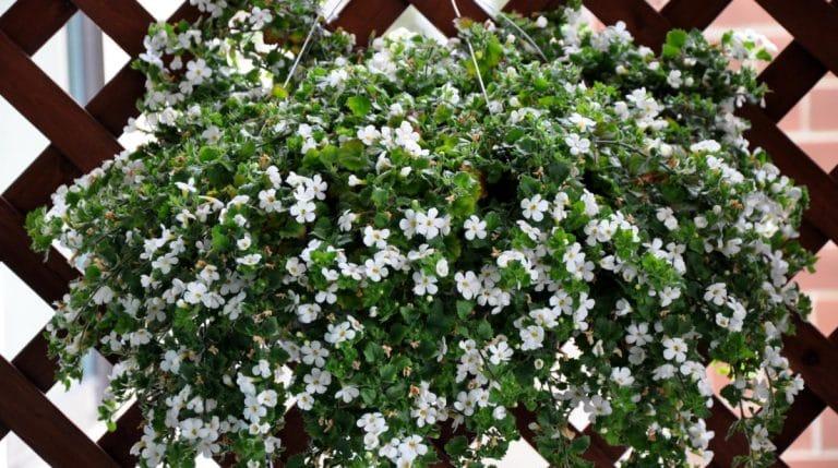 Bacopa hanging basket, low light, sheds less than fuschia or wax begonia.