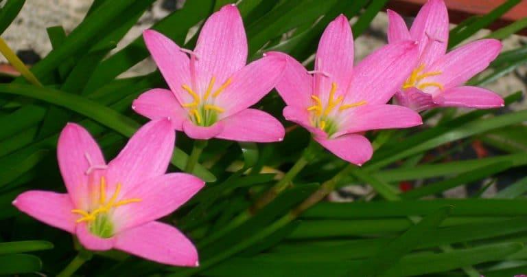 Zephyranthes_rosea