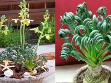 albuca-spiralis-frizzle