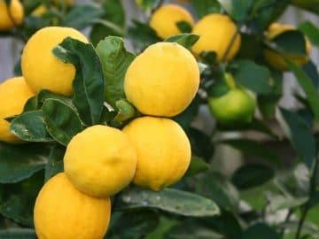 dwarf-improved-meyer-lemon-56372449-1200x800