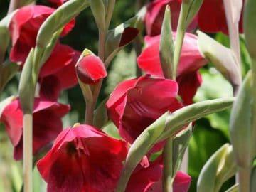 gladioli-alamy
