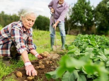 senior couple planting potatoes at garden or farm