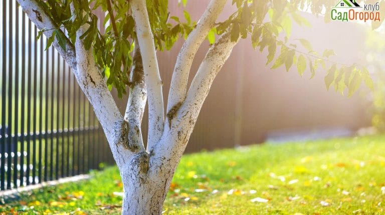 Whitewashed bark of tree growing in sunny orchard garden on blur