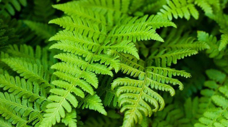 ferns-poisoning