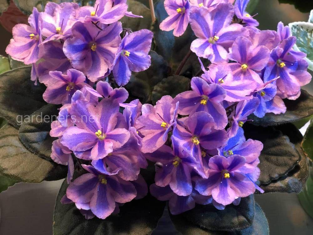 Чем подкормить фиалки для обильного цветения в домашних условиях
