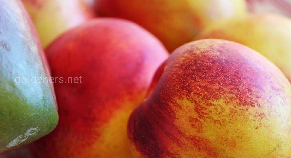 Лучшие сорта персиков для Средней Полосы России