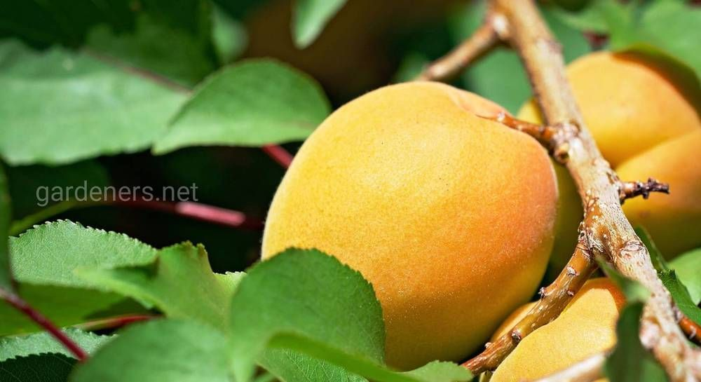 С какими деревьями можно сажать абрикос